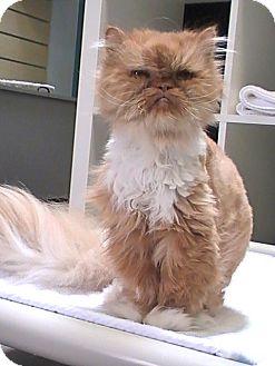 Persian Cat for adoption in Houston, Texas - Milkshake