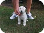 Labrador Retriever/Hound (Unknown Type) Mix Puppy for adoption in Manchester, Connecticut - Snuggles ADOPTION PENDING