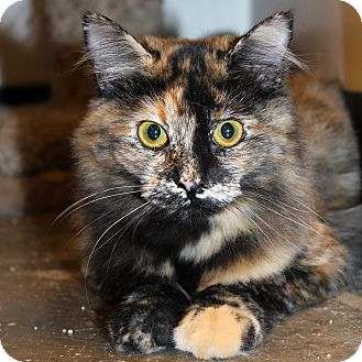 Domestic Mediumhair Cat for adoption in Greenville, South Carolina - Lily