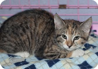 Domestic Mediumhair Cat for adoption in New Martinsville, West Virginia - Cricket