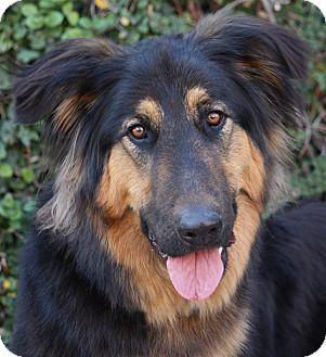 German Shepherd Dog Mix Puppy for adoption in Los Angeles, California - Antar von Aub
