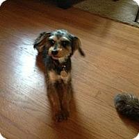 Adopt A Pet :: Star - Antioch, IL