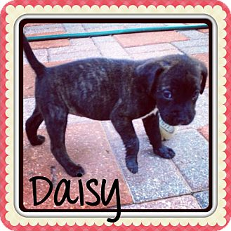 Pit Bull Terrier Mix Puppy for adoption in Grand Bay, Alabama - Daisy