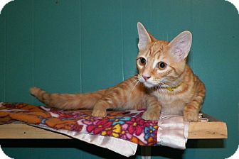 Domestic Shorthair Cat for adoption in Dover, Ohio - Pumpkin