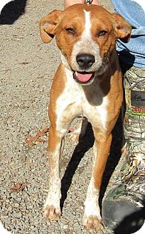 Black Mouth Cur/Hound (Unknown Type) Mix Dog for adoption in Marble, North Carolina - Sonata