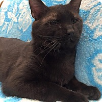 Domestic Shorthair Cat for adoption in Maryville, Missouri - Kong