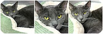 Domestic Shorthair Cat for adoption in Forked River, New Jersey - Cheese