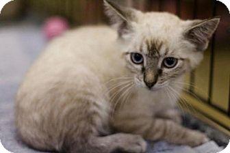Siamese Kitten for adoption in Sacramento, California - Sage