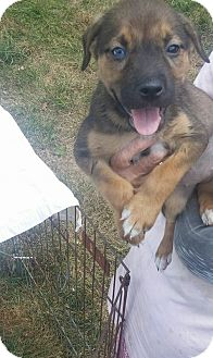 Husky/Boxer Mix Puppy for adoption in WESTMINSTER, Maryland - Mocha