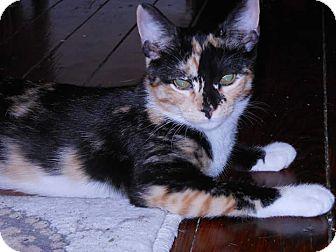 Calico Kitten for adoption in Philadelphia, Pennsylvania - Zena