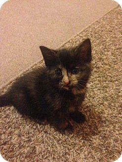 Domestic Shorthair Kitten for adoption in Manhattan, Kansas - Missy