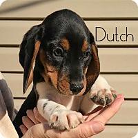 Adopt A Pet :: Dutch - House Springs, MO