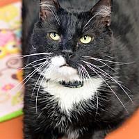 Domestic Shorthair Cat for adoption in Atlanta, Georgia - Penguin 161473