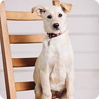 Adopt A Pet :: Alder - Portland, OR