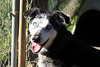 Husky Mix Dog for adoption in Chatham, Virginia - Sally