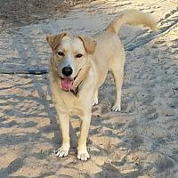 Labrador Retriever/Golden Retriever Mix Dog for adoption in San Antonio, Texas - Honey Bear