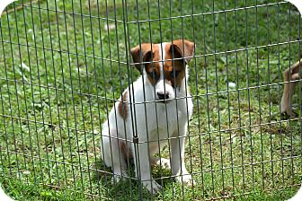 Hound (Unknown Type)/Shepherd (Unknown Type) Mix Puppy for adoption in Pikeville, Maryland - Digger