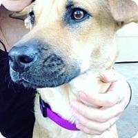 Adopt A Pet :: Pebbles - Overland Park, KS