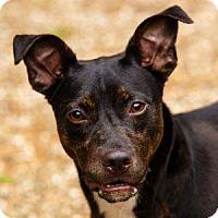 Adopt A Pet :: Brute - Decatur, GA