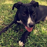 Adopt A Pet :: Kira - Sunrise, FL