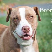 Adopt A Pet :: Bronson - Merriam, KS