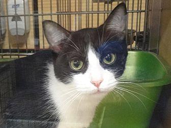 Domestic Shorthair Cat for adoption in Diamond Bar, California - KISS