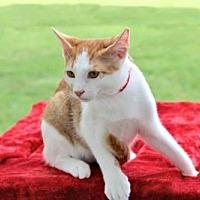 Adopt A Pet :: GORDON - Franklin, TN