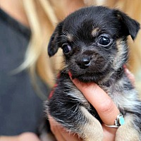 Adopt A Pet :: Dolly APPLICATIONS CLOSED - New York, NY