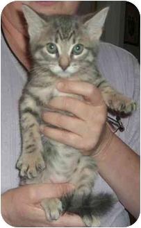 Domestic Longhair Kitten for adoption in Haughton, Louisiana - Baby Boy