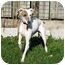 Photo 1 - Whippet Puppy for adoption in Ile-Perrot, Quebec - Guimauve