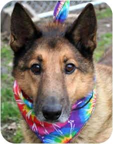Collie/Shepherd (Unknown Type) Mix Dog for adoption in Cincinnati, Ohio - Austin