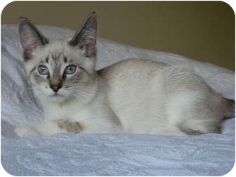 Domestic Shorthair Kitten for adoption in Eagan, Minnesota - Little Foot