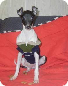 Italian Greyhound Puppy for adoption in Antioch, Illinois - Iggie ADOPTED!!