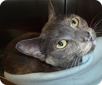 Domestic Shorthair Cat for adoption in St. Petersburg, Florida - Hailey