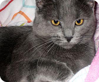Domestic Shorthair Cat for adoption in Alexandria, Virginia - Stella