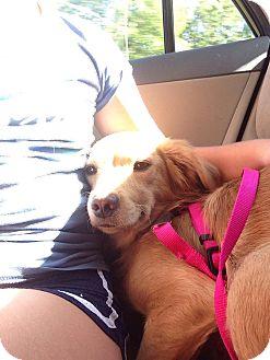 Golden Retriever Mix Dog for adoption in Beacon, New York - Shelly