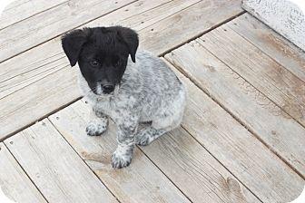 Collie Mix Puppy for adoption in Pincher Creek, Alberta - Tia