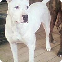 Adopt A Pet :: Ivory - Toledo, OH