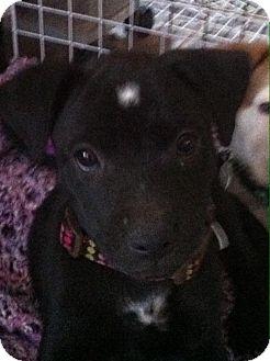 Labrador Retriever Mix Puppy for adoption in Phoenix, Arizona - Spot