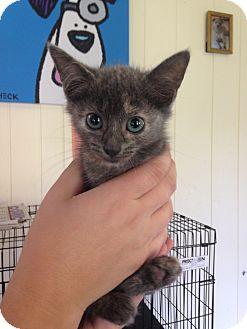 Domestic Mediumhair Kitten for adoption in Mine Hill, New Jersey - Mini