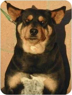 Australian Cattle Dog/Australian Kelpie Mix Dog for adoption in Rolling Hills Estates, California - Janie