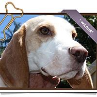 Adopt A Pet :: Wilbur - Portland, OR