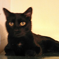 Domestic Shorthair Cat for adoption in Scottsdale, Arizona - Caesar - a challenge