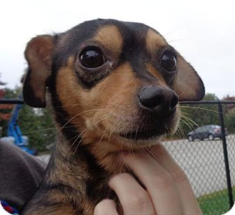 Dachshund/Chihuahua Mix Dog for adoption in Worcester, Massachusetts - Bud