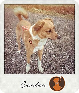 Border Collie Mix Dog for adoption in Pitt Meadows, British Columbia - Carter