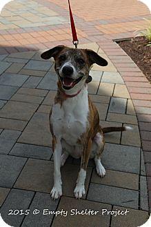 Hound (Unknown Type) Mix Dog for adoption in Manassas, Virginia - Roxy