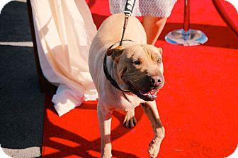 Shar Pei/Labrador Retriever Mix Dog for adoption in St Helena, California - Oscar Roo