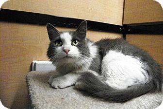 Domestic Shorthair Cat for adoption in Riverside, California - Tess