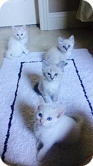 Domestic Shorthair Kitten for adoption in Bentonville, Arkansas - Spritzie
