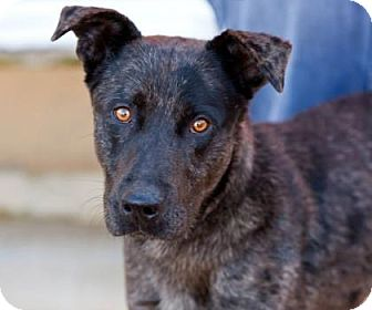 Catahoula Leopard Dog Mix Dog for adoption in Boston, Massachusetts - Haggard